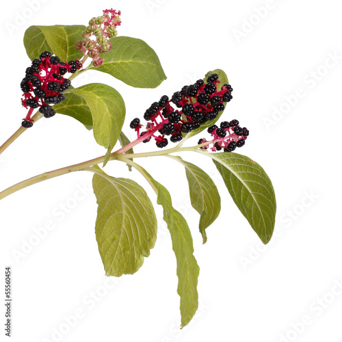 Two branches with pokeweed berries isolated
