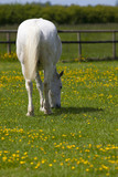 Grey horse grasing in flower meadow