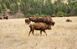 Families of Bison