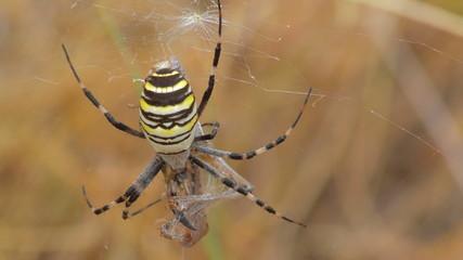 yellow spider aurantia bruennichi and prey