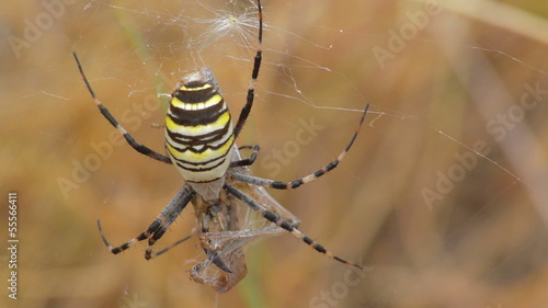 yellow spider aurantia bruennichi and prey