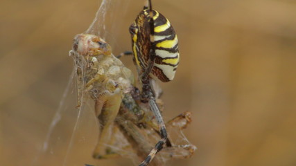 yellow spider aurantia bruennichi eating grasshoper closeup