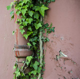 ivy growing on a cottage drainpipe