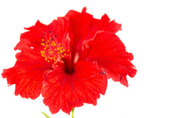 Red Hibiscus flower with white background