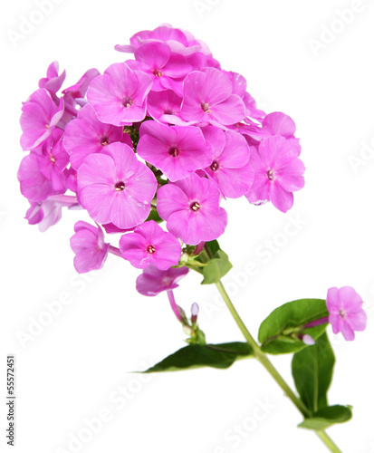 Beautiful bouquet of phlox isolated on white