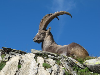 Beautiful lying alpine ibex