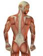 Muskelstruktur Mann hinten