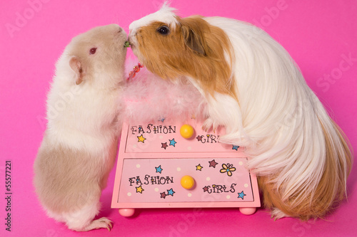 deux cobayes sur fond rose