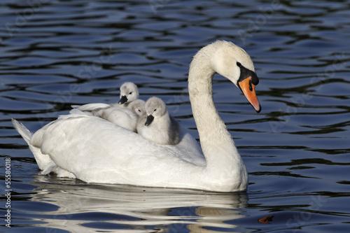 Foto op Plexiglas Zwaan Mute swan, Cygnus olor