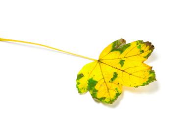 Yellowed leaf