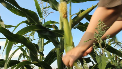 Ripe ear of corn and female hands