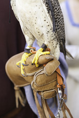 Claws of a falcon falconry