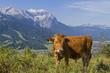 Kühe  vor Wettersteingebirge