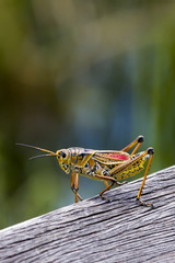 Grasshopper, Everglades NP, Florida
