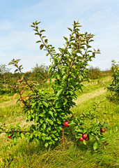 Small apple tree.