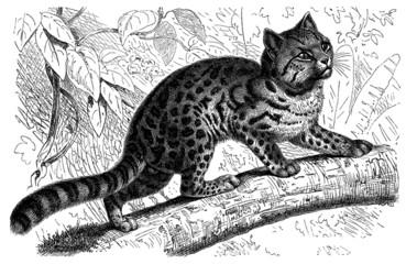 Felis Tigrina - Oncille - Chat-Tigre