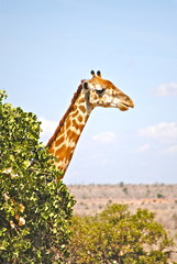 Africa - Kenya - Safari - Tsavo East National Park - Giraffa