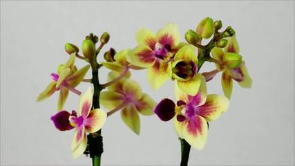 Phalaenopsisblüte öffnet