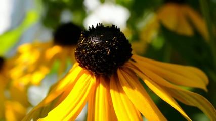 Blühende Rudbeckia