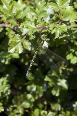 aeshna cyanea male dragonfly