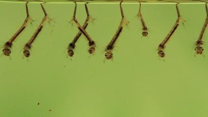Mückenlarven an der Wasseroberfläche
