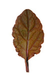 Burgundy leaf isolated on white