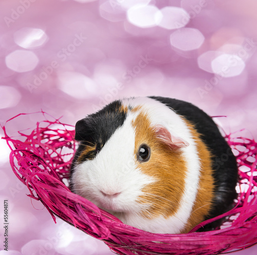 guinea pig in a little net