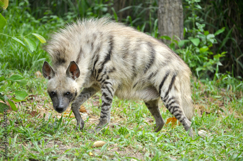 In de dag Hyena Striped hyena