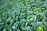 Fresh green cabbage.