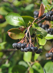 Black ashberry (Aronia melanocarpa) tree with ripe berry