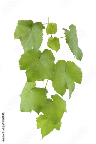 leafy green vine isolated on white background