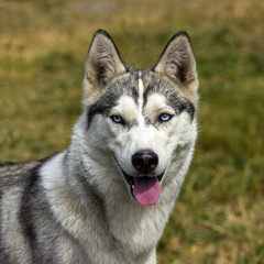 Голубоглазая собака породы хаска.