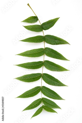 green leaf of black walnut tree Juglans nigra