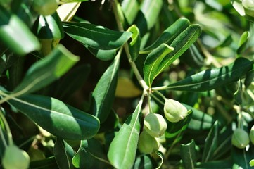 Branch with green olives on olive tree