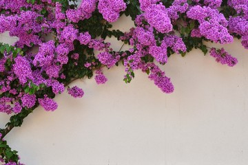 Beautiful purple Bougainvillea flowers against white wall