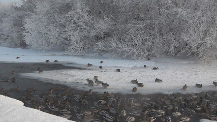 Winter river with a lot of ducks