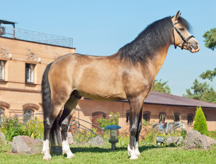 Beautiful buckskin welsh pony stallion
