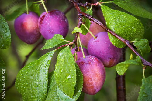 Ripe red plums on the branch with dew