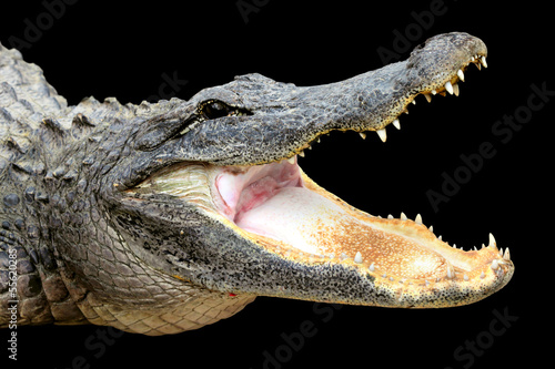 Alligator with its mouth open wide on black background