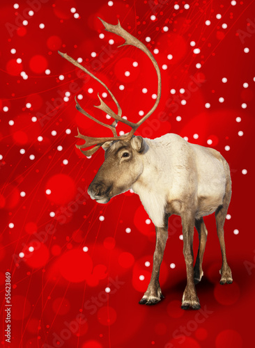 Caribou reindeer on red