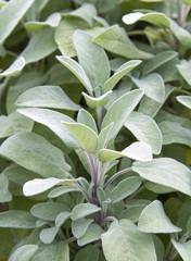 Sage plant in herb garden