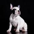 french bulldog on black background .