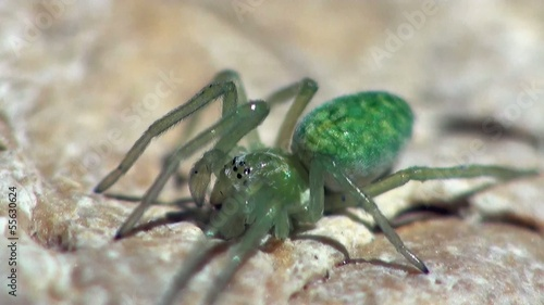 little green spider is sitting under the sheet and moves legs, m