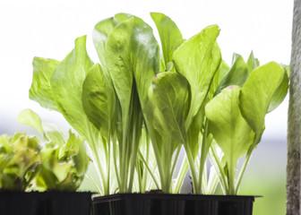 Radicchio ed insalata coltivati in terrazzo