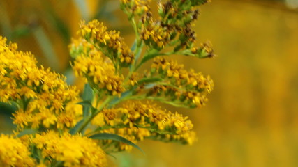 Swaying on low wind yellow flowers on a yellow background.