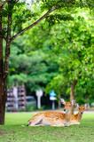 Chital deer , Spotted deer , Axis deer on raining day poster