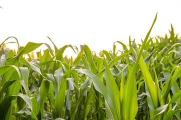 Green leaves of corn field