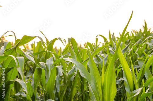 Green leaves of corn field