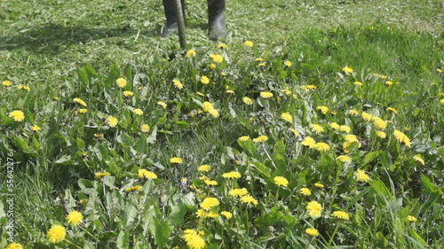 Mowing with a trimmer of yellow dandelions at the lawn