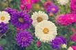 Asters flowerbed garden